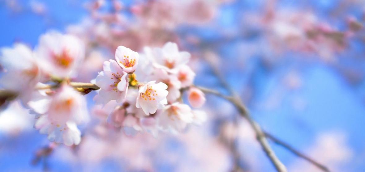 ییلی ؛ دره ای مملو از شکوفه های زردآلو در چین
