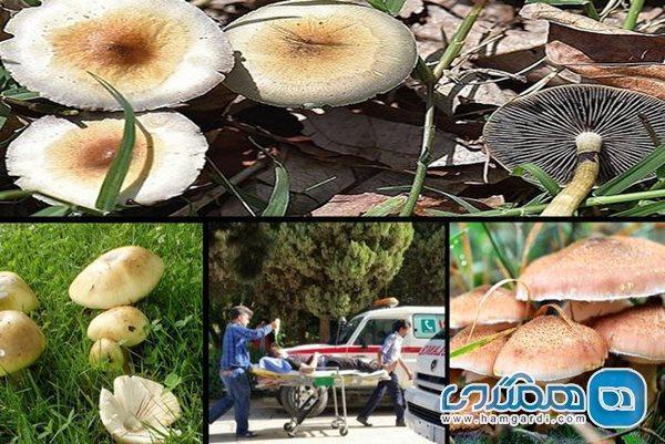 چند لقمه از قارچ های سمی مساوی با از بین رفتن کبد یا مرگ است